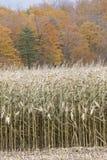Cosecha del maíz Imagen de archivo libre de regalías
