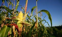 Cosecha del maíz de Openned. Foto de archivo