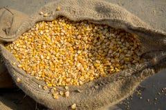 Cosecha del maíz, Gorpara, Manikgonj, Bangladesh Fotografía de archivo libre de regalías