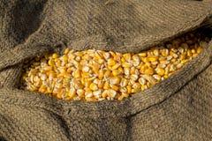 Cosecha del maíz, Gorpara, Manikgonj, Bangladesh Foto de archivo libre de regalías