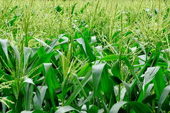 Cosecha del maíz o del maíz Imagen de archivo