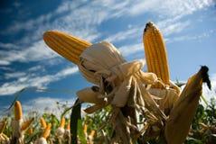 Cosecha del maíz Foto de archivo libre de regalías