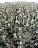 Cosecha del opio Fotos de archivo libres de regalías