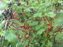 Cosecha del otoño en el país, grosellas rojas y negras hermosas Fotos de archivo libres de regalías