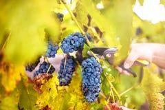 Cosecha del otoño en el valle del wineyard hombre de la agricultura que cosecha las uvas Foto de archivo