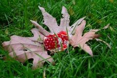 Cosecha del otoño - granada Imagenes de archivo