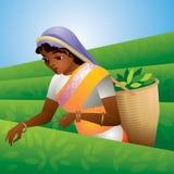 Cosecha del té, muchacha india Fotografía de archivo