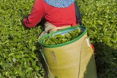 Cosecha del té verde por la mañana fotos de archivo libres de regalías