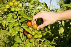 Cosecha del tomate Imagenes de archivo