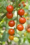 Cosecha del tomate de cereza imagen de archivo libre de regalías