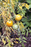 Cosecha del tomate de la caída Foto de archivo libre de regalías