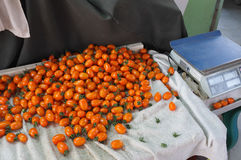 Cosecha del tomate en granja Fotos de archivo