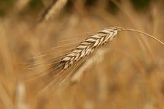 Cosecha del trigo Imagen de archivo libre de regalías