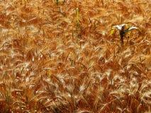 Cosecha del trigo Fotografía de archivo libre de regalías