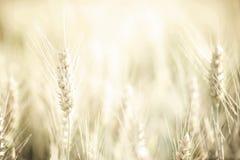 Cosecha del trigo Fotos de archivo libres de regalías
