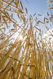 Cosecha del trigo con el cielo nublado Fotografía de archivo