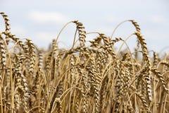Cosecha del trigo con el cielo nublado Fotos de archivo libres de regalías