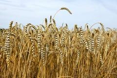 Cosecha del trigo con el cielo nublado Imágenes de archivo libres de regalías