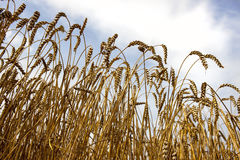 Cosecha del trigo con el cielo nublado Fotografía de archivo libre de regalías