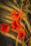 Cosecha del trigo de invierno y de la amapola roja del chisme foto de archivo libre de regalías