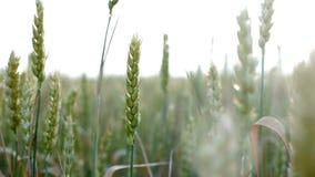 Cosecha del trigo en el campo en la puesta del sol, tierra de la agricultura