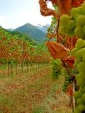 Cosecha del viñedo del otoño última Fotos de archivo libres de regalías