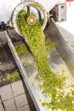 Cosecha del vino Imagen de archivo libre de regalías