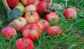 Cosecha dispersada de las manzanas en hierba en jardín Fotografía de archivo
