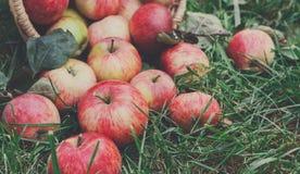 Cosecha dispersada de las manzanas en hierba en jardín Imágenes de archivo libres de regalías