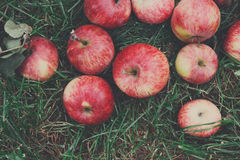 Cosecha dispersada de las manzanas en hierba en jardín Fotos de archivo