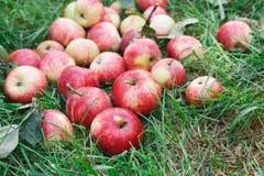 Cosecha dispersada de las manzanas en hierba en jardín Foto de archivo libre de regalías