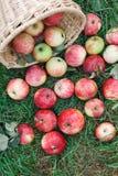 Cosecha dispersada de las manzanas en hierba en jardín Fotos de archivo libres de regalías