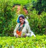 Cosecha en los campos del té, té Imagen de archivo libre de regalías