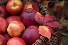 Cosecha fresca de manzanas El cultivar un huerto del otoño Día de la acción de gracias Imagenes de archivo