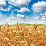 Cosecha fresca del campo de trigo del oro Imágenes de archivo libres de regalías