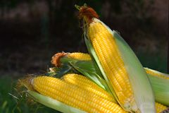 Cosecha fresca del maíz Imagenes de archivo