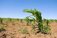 Cosecha joven del maíz fotografía de archivo
