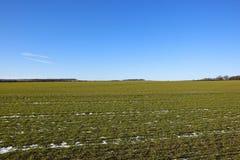 Cosecha joven del trigo con nieve Foto de archivo libre de regalías