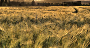 Cosecha madura asoleada - campo de maíz amarillo durante salida del sol Foto de archivo libre de regalías