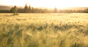 Cosecha madura asoleada - campo de maíz amarillo durante salida del sol Imagen de archivo