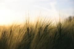 Cosecha madura asoleada - campo de maíz amarillo durante salida del sol Imagenes de archivo