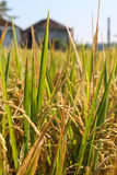 Cosecha madura del arroz lista para la cosecha Imagen de archivo libre de regalías