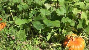 Cosecha madura fresca de la calabaza de la opinión del panorama en jardín del verano 4K metrajes