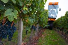 Cosecha mecánica de uvas en el viñedo Foto de archivo