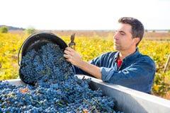 Cosecha mediterránea Cabernet-Sauvignon del granjero del viñedo foto de archivo libre de regalías