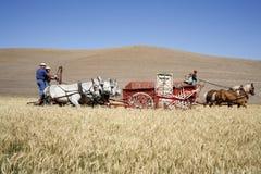 Cosecha pasada de moda del trigo. Fotos de archivo libres de regalías