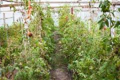 Cosecha pasada de tomates en invernadero en otoño Fotos de archivo libres de regalías