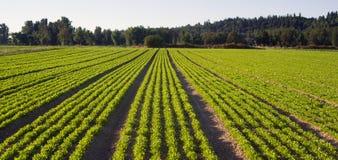 Cosecha plantada de Herb Farm Agricultural Field Plant de las filas Imagen de archivo libre de regalías