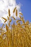 Cosecha que espera del trigo para fotos de archivo