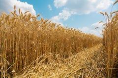 Campo de trigo soleado. Cosecha fresca Fotografía de archivo
